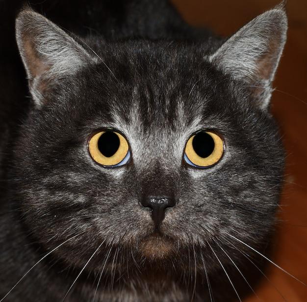 Olhos grandes de gato cinza assustado