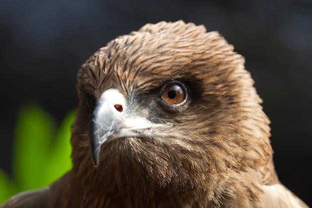 Olhos olhando da águia (papagaio negro, papagaio pariah)