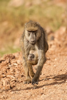 Olive baboon carregando seu filhote