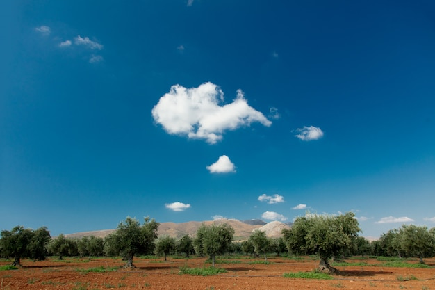 Olive garden no centro de creta com vista para as montanhas