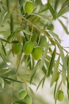 Oliveira com frutos verdes