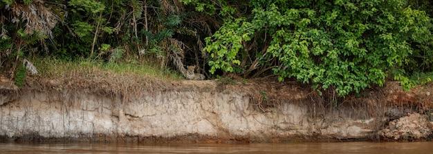 Onça-pintada americana no habitat natural da selva sul-americana