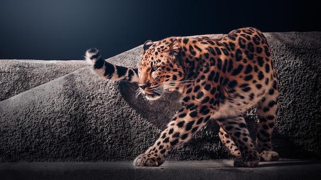 Onça-pintada preto e branco, um leopardo lindo e formidável