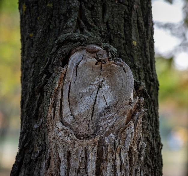 Oncacias grande ramo, uma seção de um nó de árvore com anéis