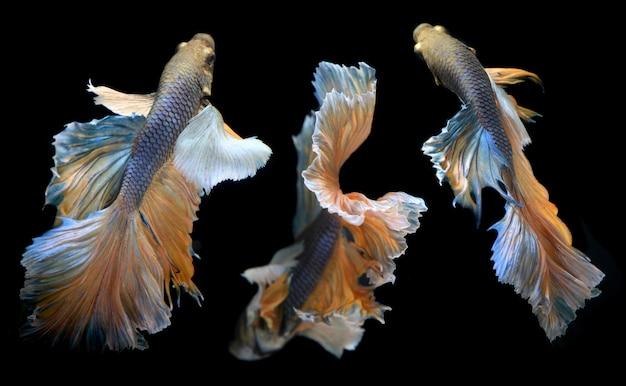 Onda colorida de betta saimese peixe de combate