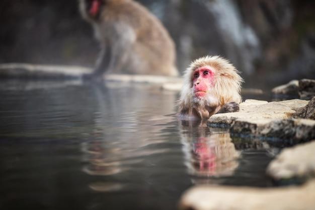 Onsen de macaco da neve na primavera quente, japão