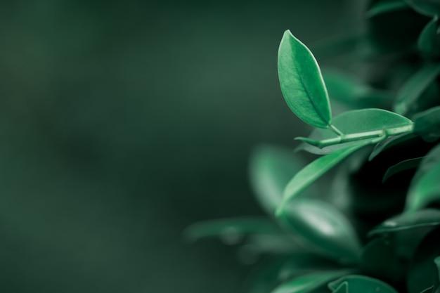 Opinião da natureza do close up da folha verde escura com espaço da cópia usando como o conceito do fundo