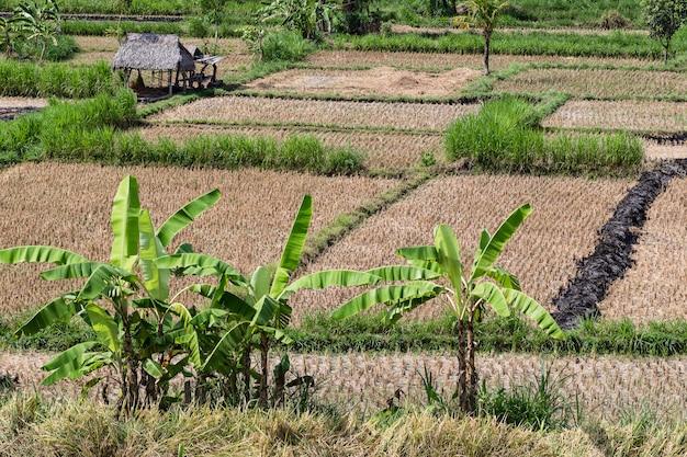 Opinião do campo do arroz após a colheita. bali.