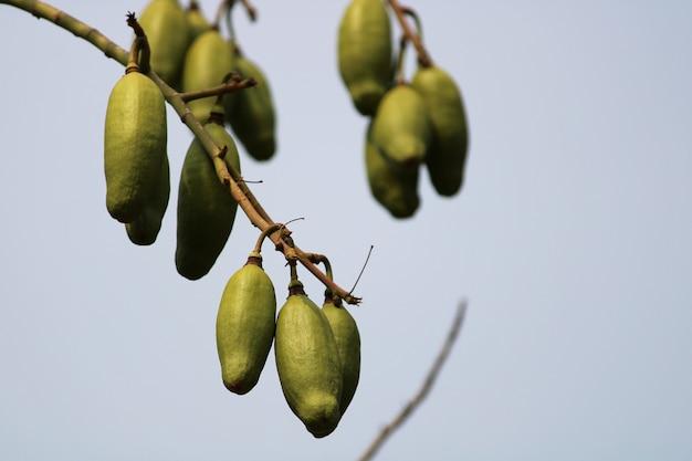 Opinião do close-up da fruta sumaúma pendurada na árvore.