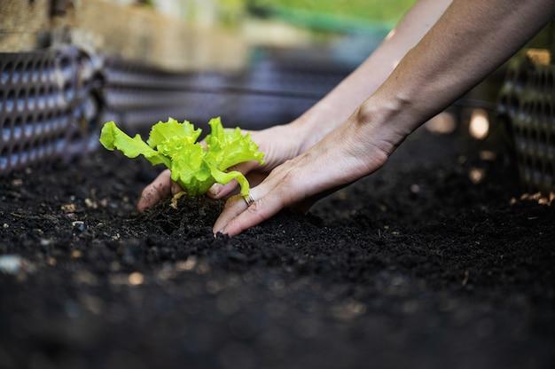 Opinião do close up de baixo ângulo da mão feminina plantando mudas de alface em solo fértil.