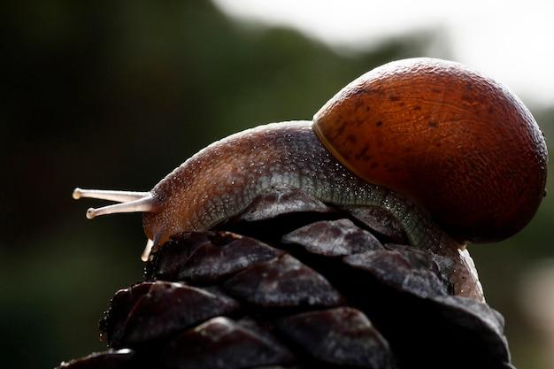 Opinião do close up de um caracol sobre um fruto de pinheiro.
