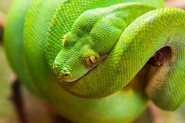 Opinião do close-up de uma árvore de pitão verde morelia viridis.
