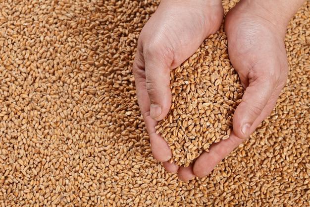 Opinião do close up pale pilsener malt grains nas mãos.