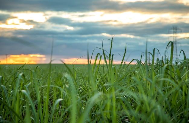 Opinião do por do sol da plantação da cana-de-açúcar