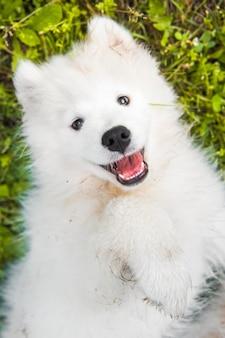 Opinião superior do cão de filhote de cachorro engraçado do samoyed no jardim na grama verde