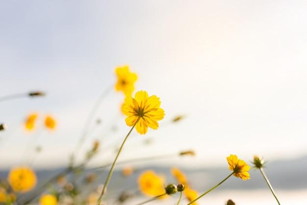 Opinião surpreendente do girassol mexicano com paisagem da grama verde e do céu azul.