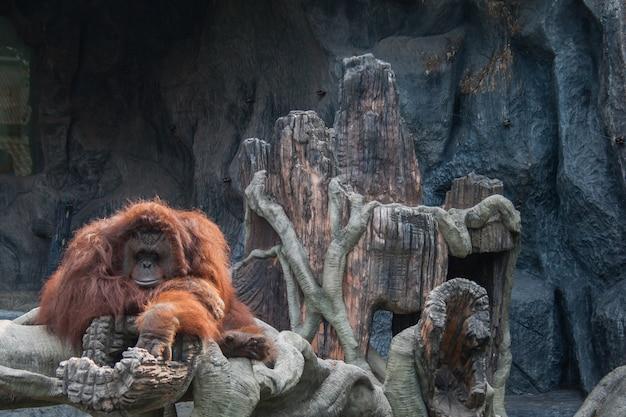 Orangotango deitado sobre a rocha