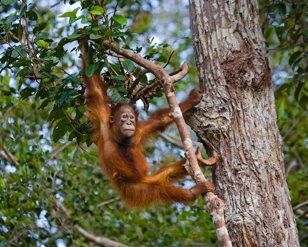 Orangotango em estado selvagem. indonésia. a ilha de kalimantan (bornéu).
