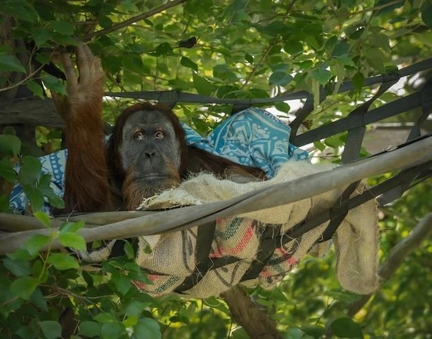 Orangotango em uma árvore