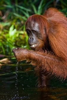 Orangotango está bebendo água do rio na selva. indonésia. a ilha de kalimantan (bornéu).