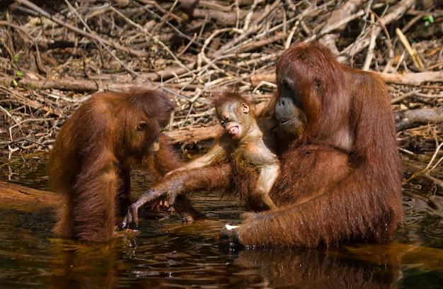 Orangotango fêmea com um bebê na selva. indonésia. a ilha de kalimantan (bornéu).