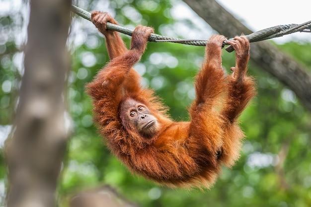 Orangotango jovem balançando em uma corda
