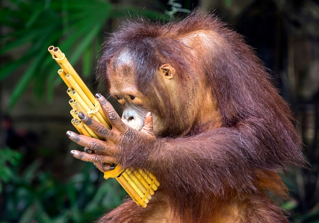 Orangotango jovem tocar música alegremente.