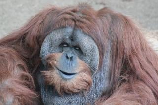 Orangotango macho adulto