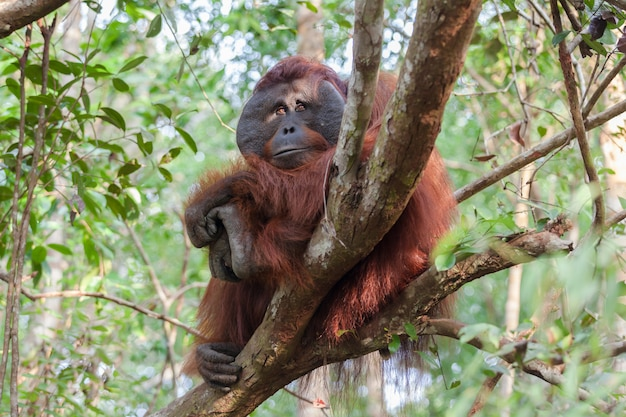 Orangotango na árvore, parque nacional tanjung puting