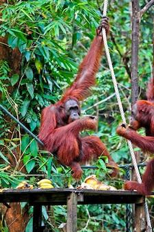 Orangotango no centro de reabilitação da vida selvagem de semenggoh
