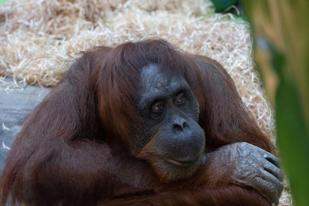 Orangotango no zoológico