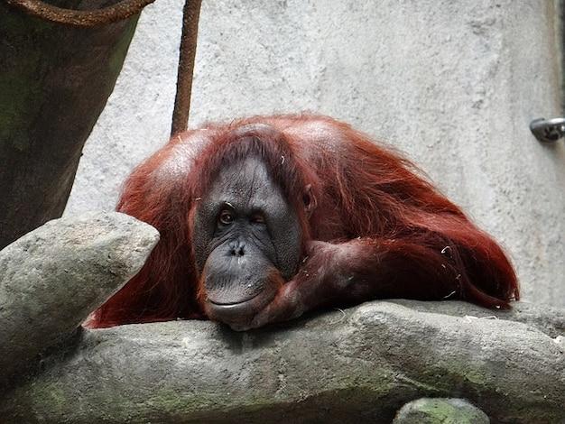 Orangotango piscadela natureza illinois animal de zoológico