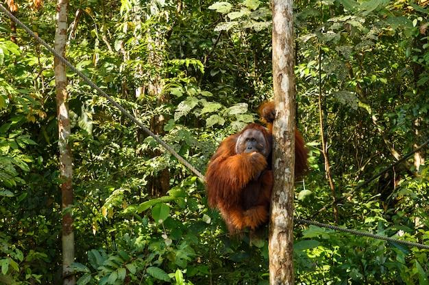 Orangotango, sentado em uma árvore.