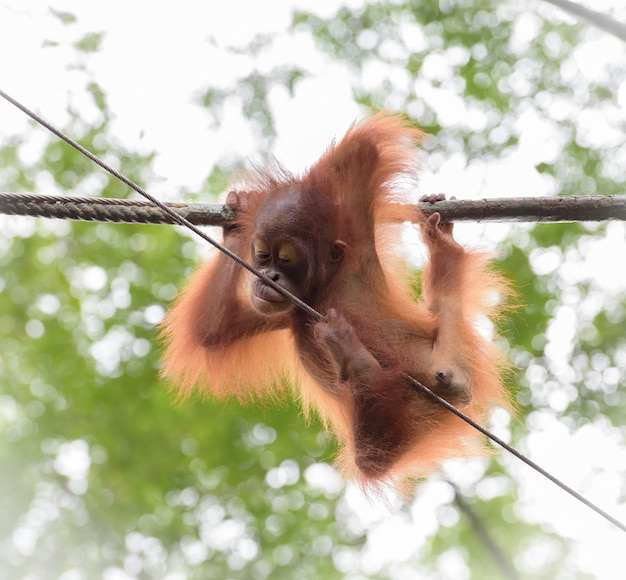 Orangutang bebê em uma pose engraçada