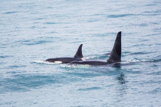 Orca (baleia assassina) no alasca