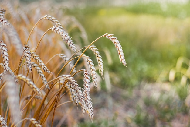 Orelha de trigo madura na borda do campo