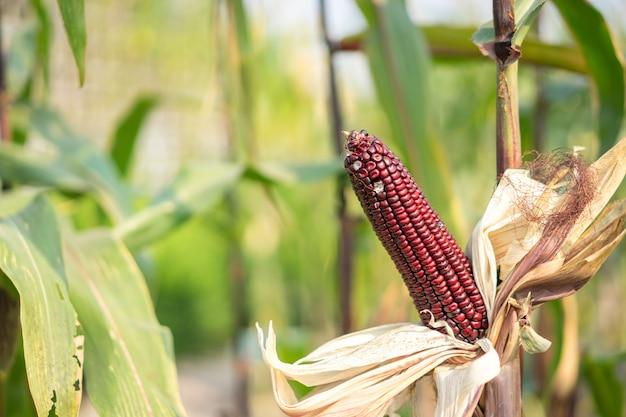 Orelha do milho vermelho com as sementes ainda unidas à espiga no campo de milho orgânico.