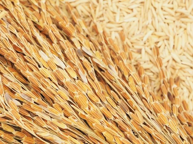Orelha seca de arroz em casca