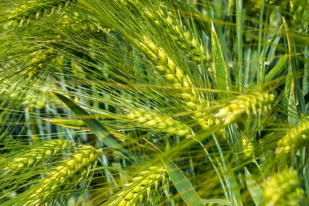 Orelhas amareladas de cevada recheada com grãos amadurecem no campo em um dia ensolarado