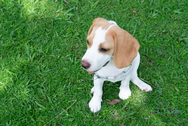 Orelhas castanhas, beagle, cão, sentando, ligado, a, verde, capim, jarda, esperando, para, alguém, para, jogar