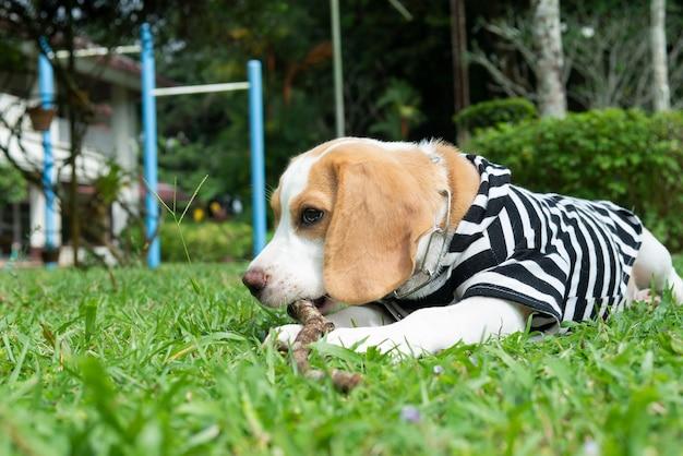 Orelhas castanhas, cachorro beagle agachado, ligado, a, grama verde, jarda, tocando, e, mastigação