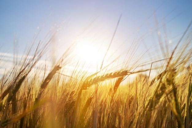 Orelhas de cereais crescendo no campo de trigo