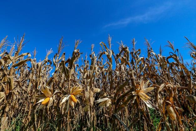 Orelhas de milho maduras no campo