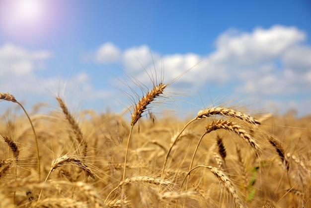 Orelhas de trigo amarelo maduro