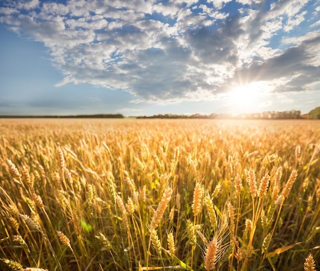Orelhas douradas de trigo sob o céu azul