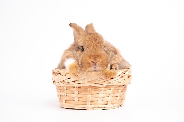 Orelhas eretas do coelho marrom vermelho bonito peludo e macio estão sentadas na cesta. conceito de animal de estimação de roedor e páscoa.