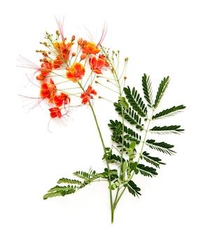Orgulho de barbados ou flores de caesalpinia pulcherrima isoladas no fundo branco.