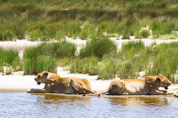 Orgulho dos leões na margem do pequeno lago. serengeti, áfrica