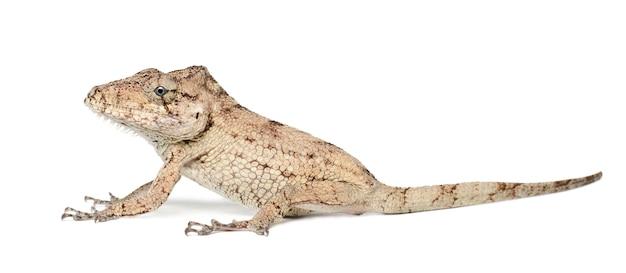 Oriente bearded anole ou anolis porcus, chamaeleolis porcus, polychrus é um gênero de lagartos, comumente chamados de anoles de arbusto, contra o espaço em branco