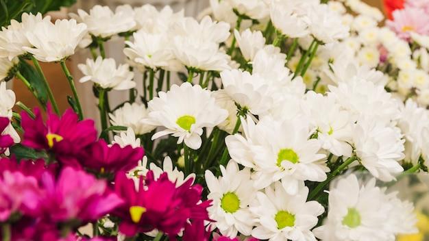 Origens de flor branca e rosa de camomila